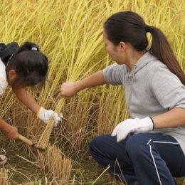 園児と稲を刈るインターン学生