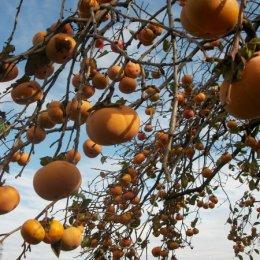 秋の味覚狩り「柿狩り」体験レポート