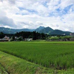 青々と成長する稲