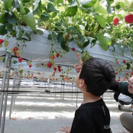 「イチゴ狩りに行こう!」~5月の親子体験学習~
