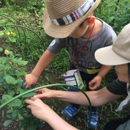 つむぎの畑で元気に育った枝豆の収穫