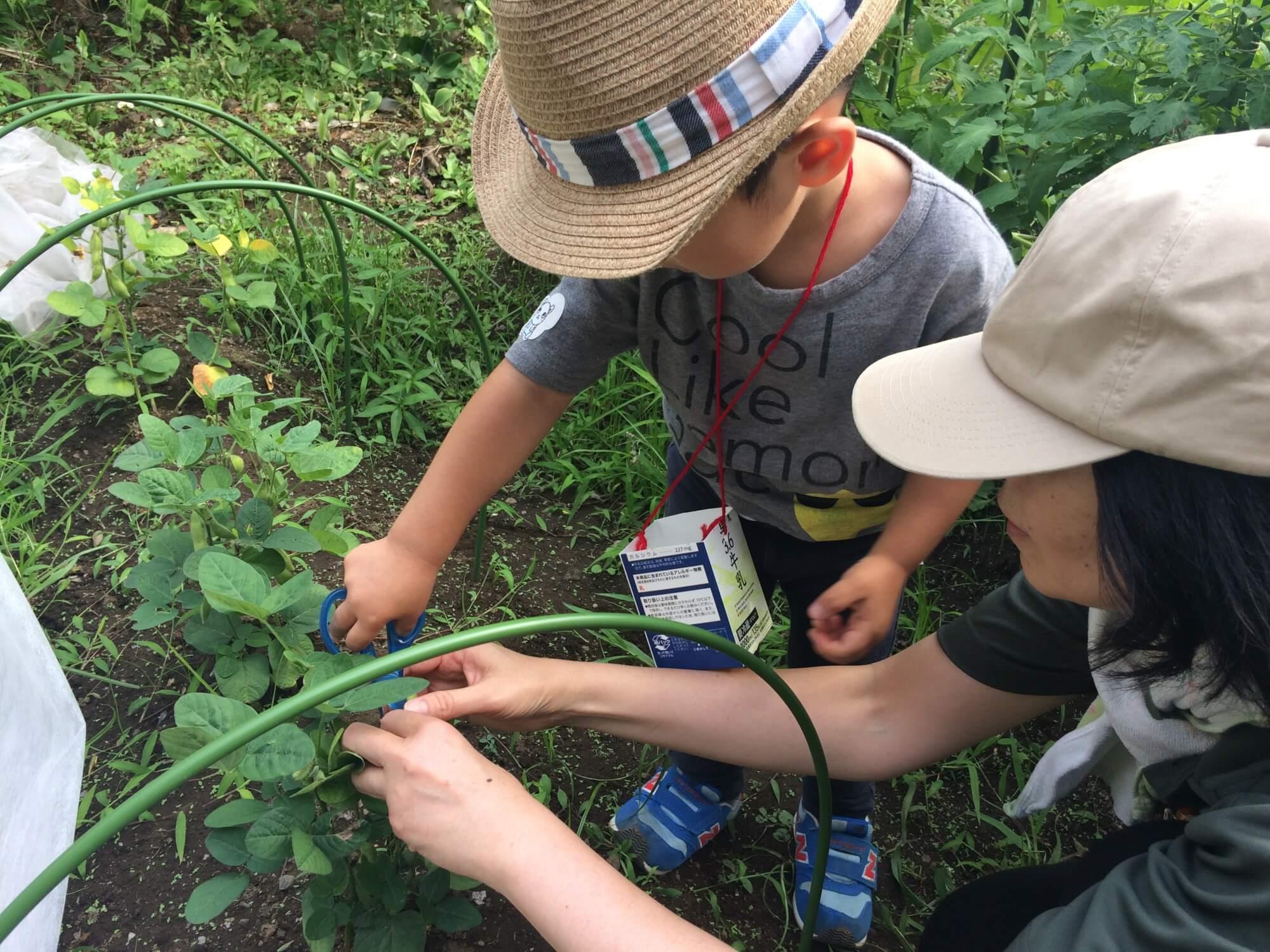 ハサミを使って枝豆を収穫する子ども