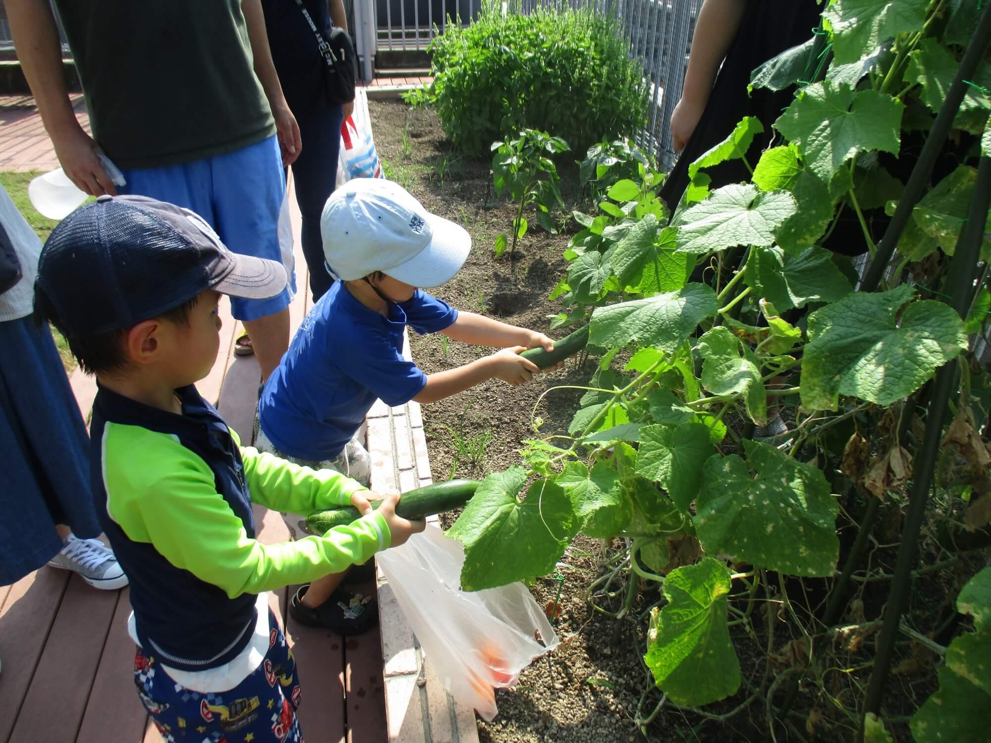 おばけキュウリを収穫する子供