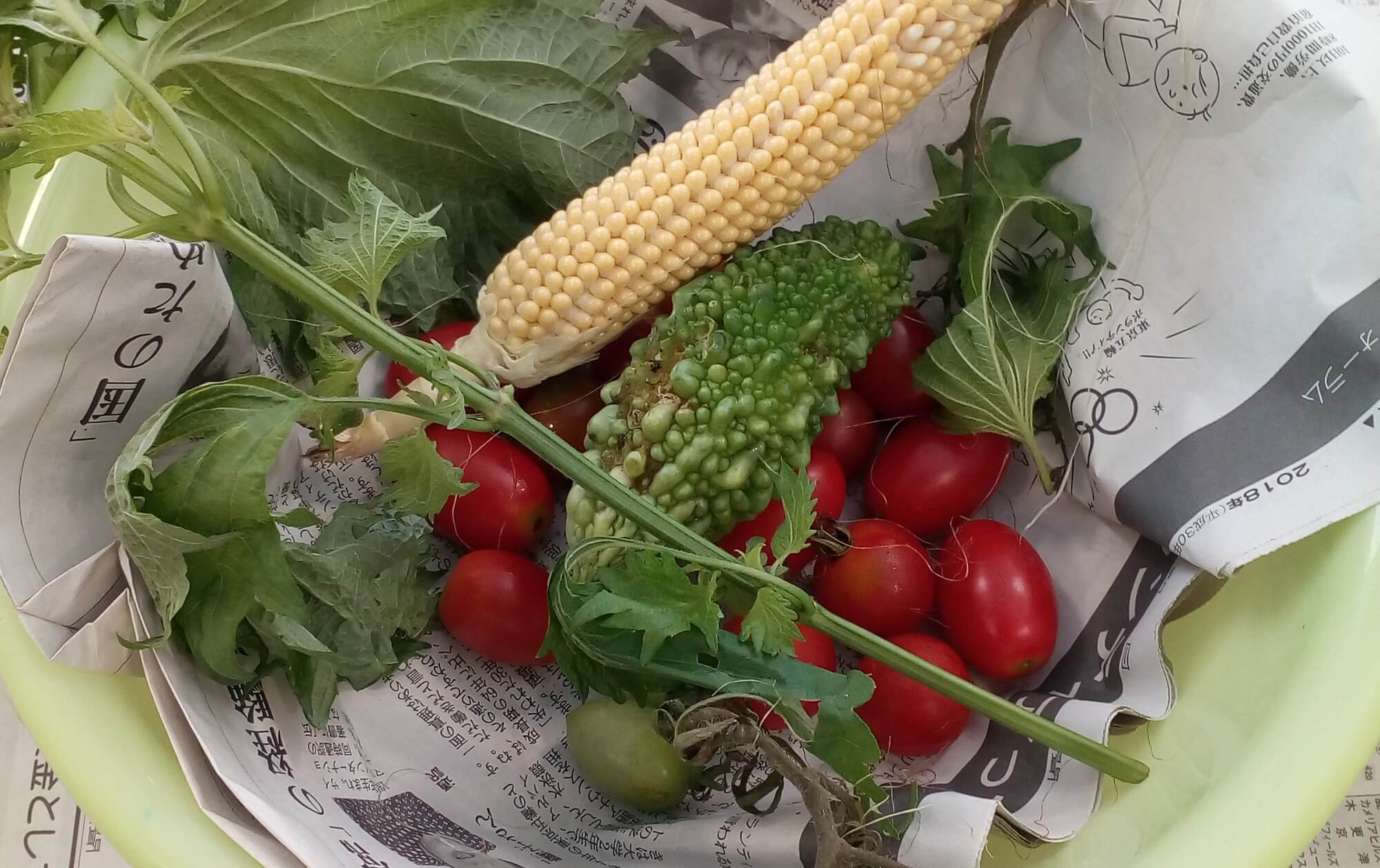 収穫したミニトマトやにがうりなど