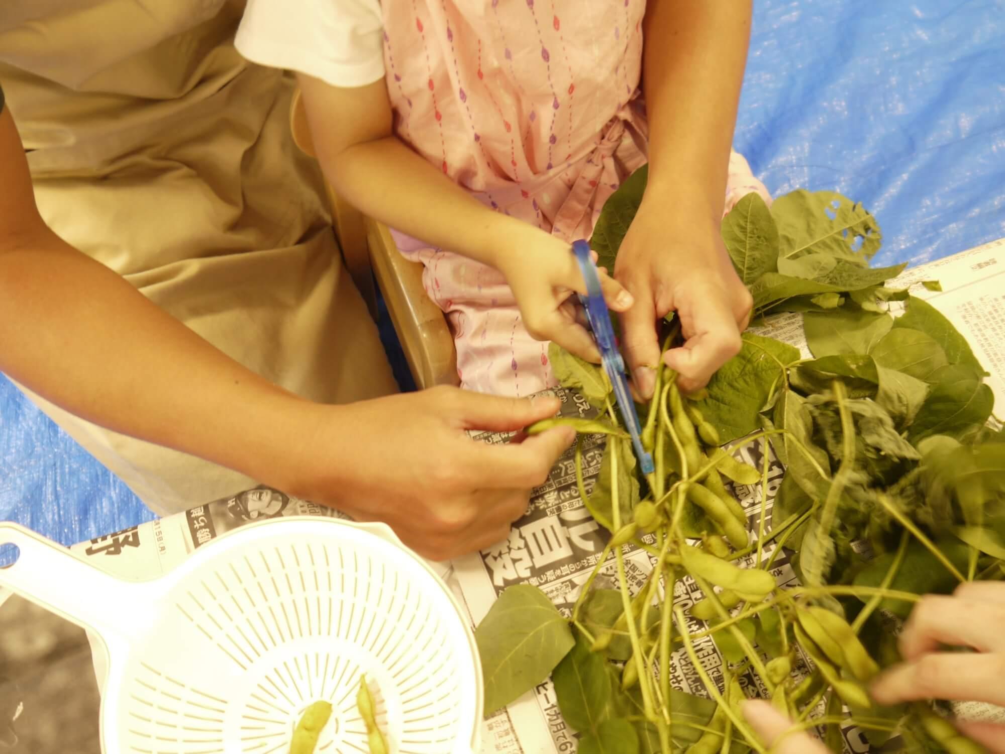 枝から枝豆をはさみで切る子ども