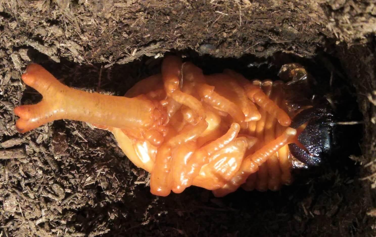 茶色に変化してきたカブトムシのさなぎ