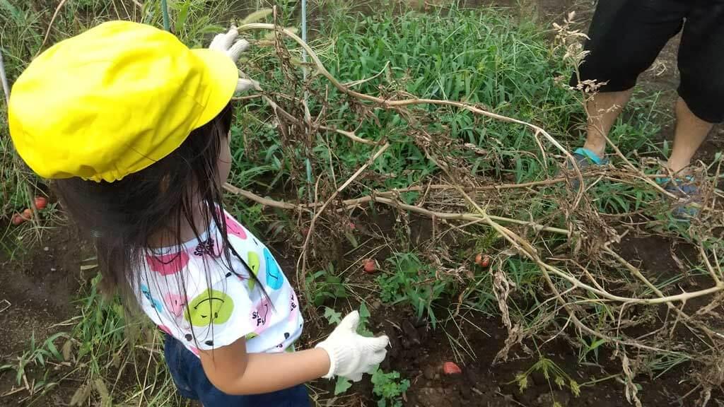 夏野菜の茎や葉っぱを片付ける様子