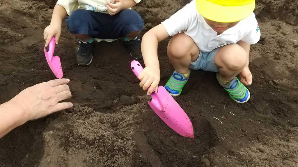 種芋を植える様子