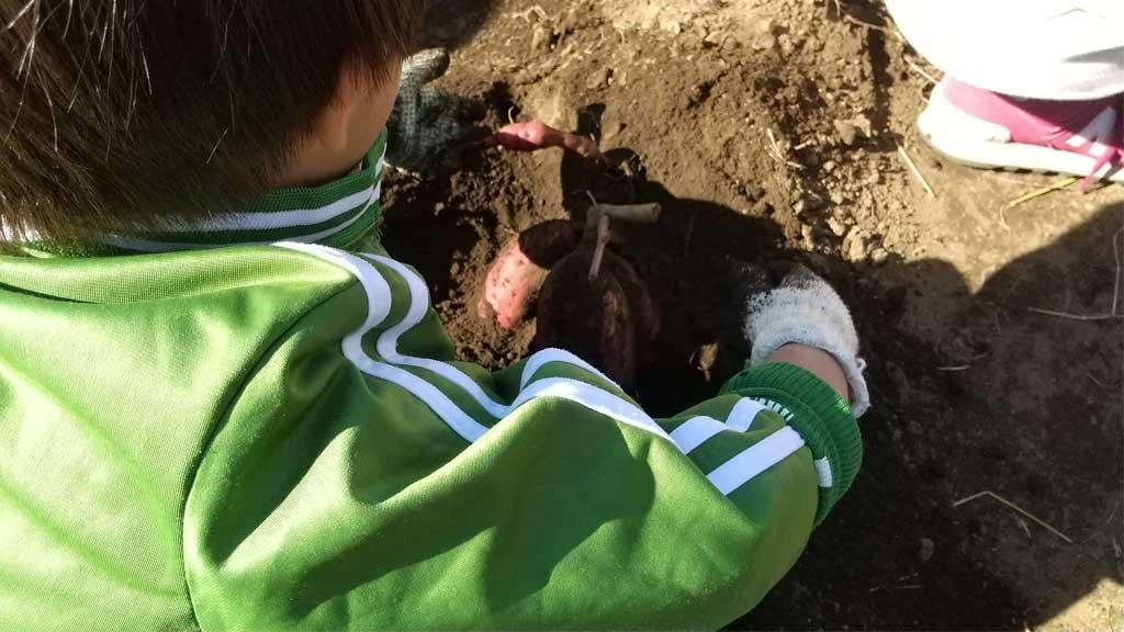 サツマイモを掘る様子
