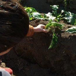 つむぎ調布「秋冬野菜の収穫」