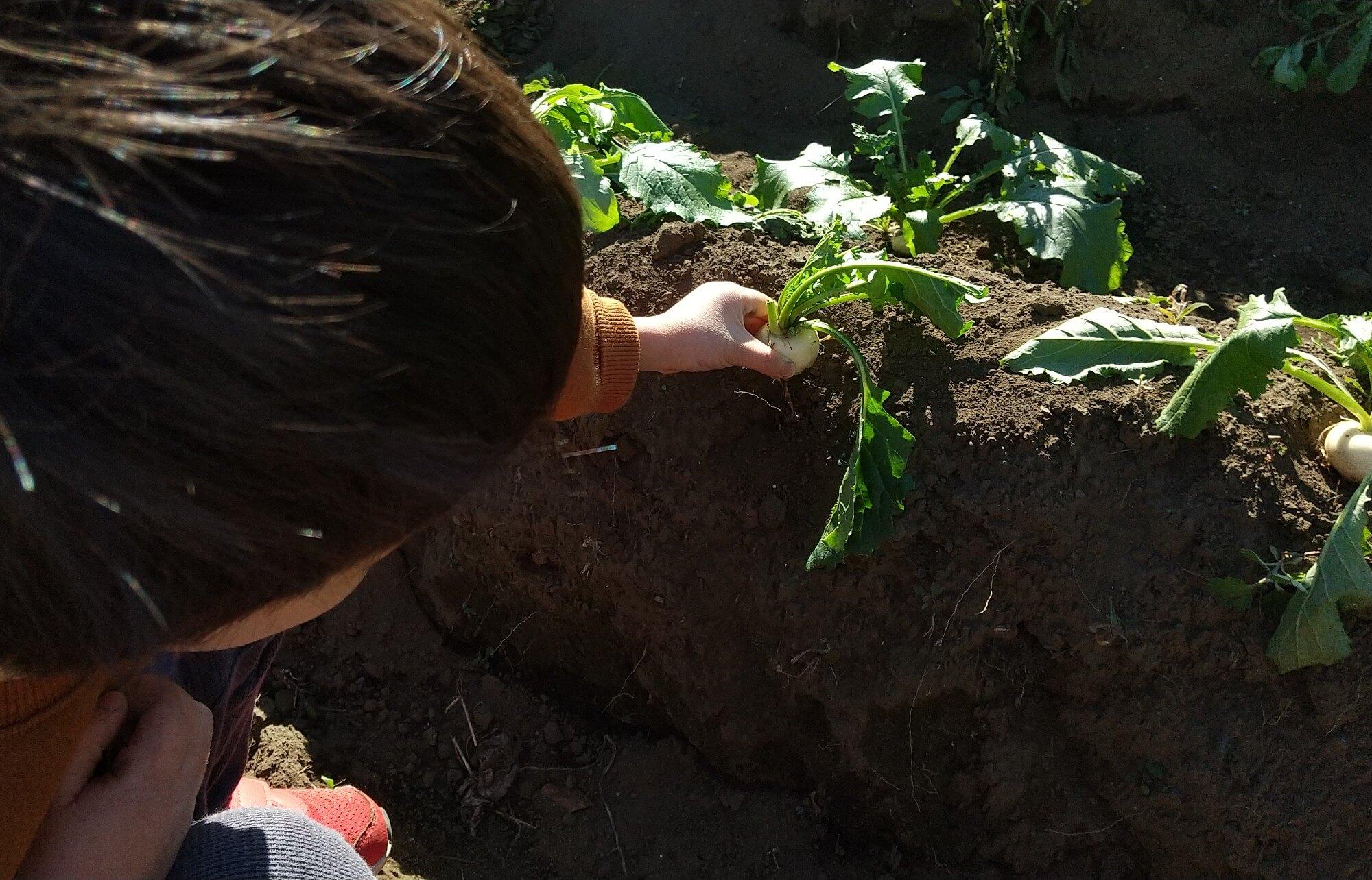 かぶを収穫する子ども