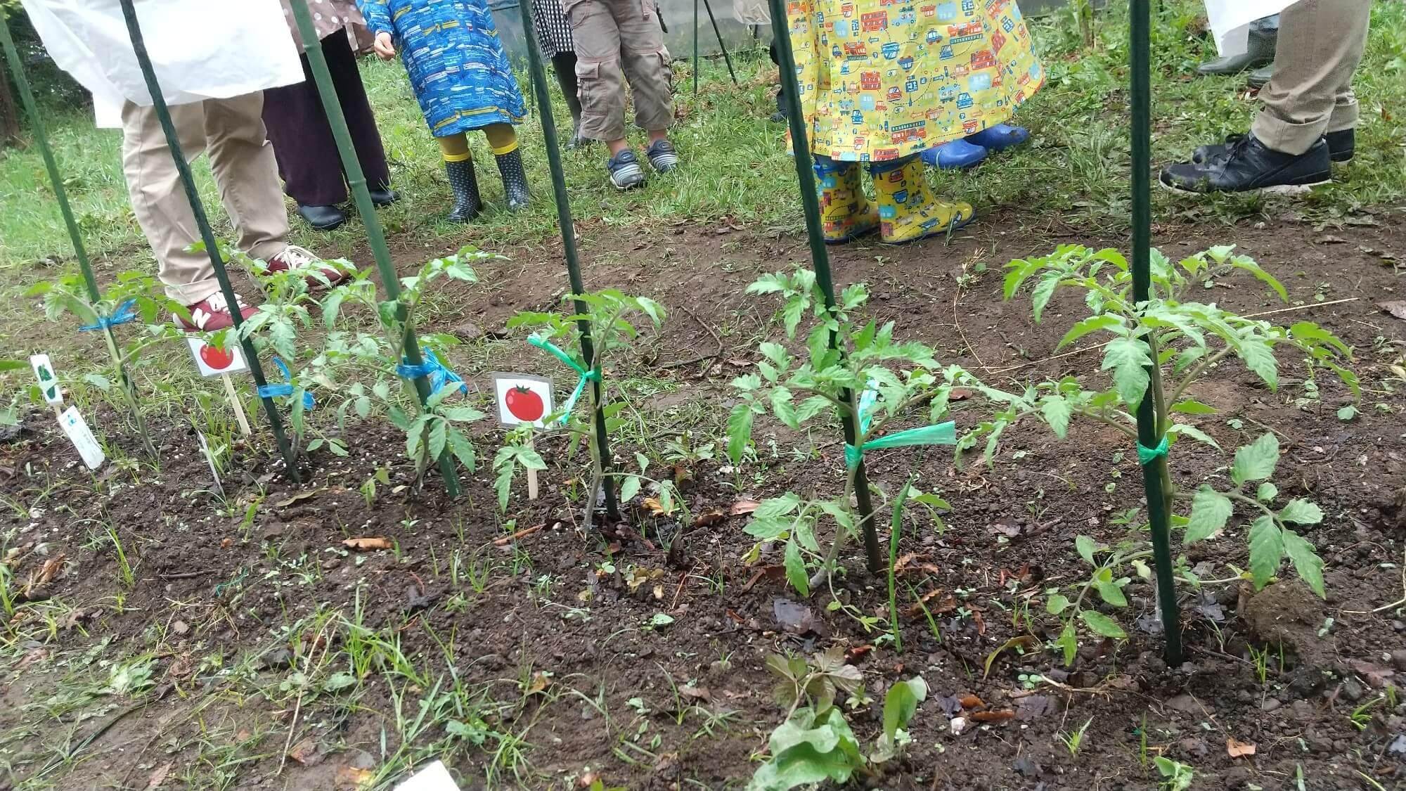 どんどん成長しているトマト