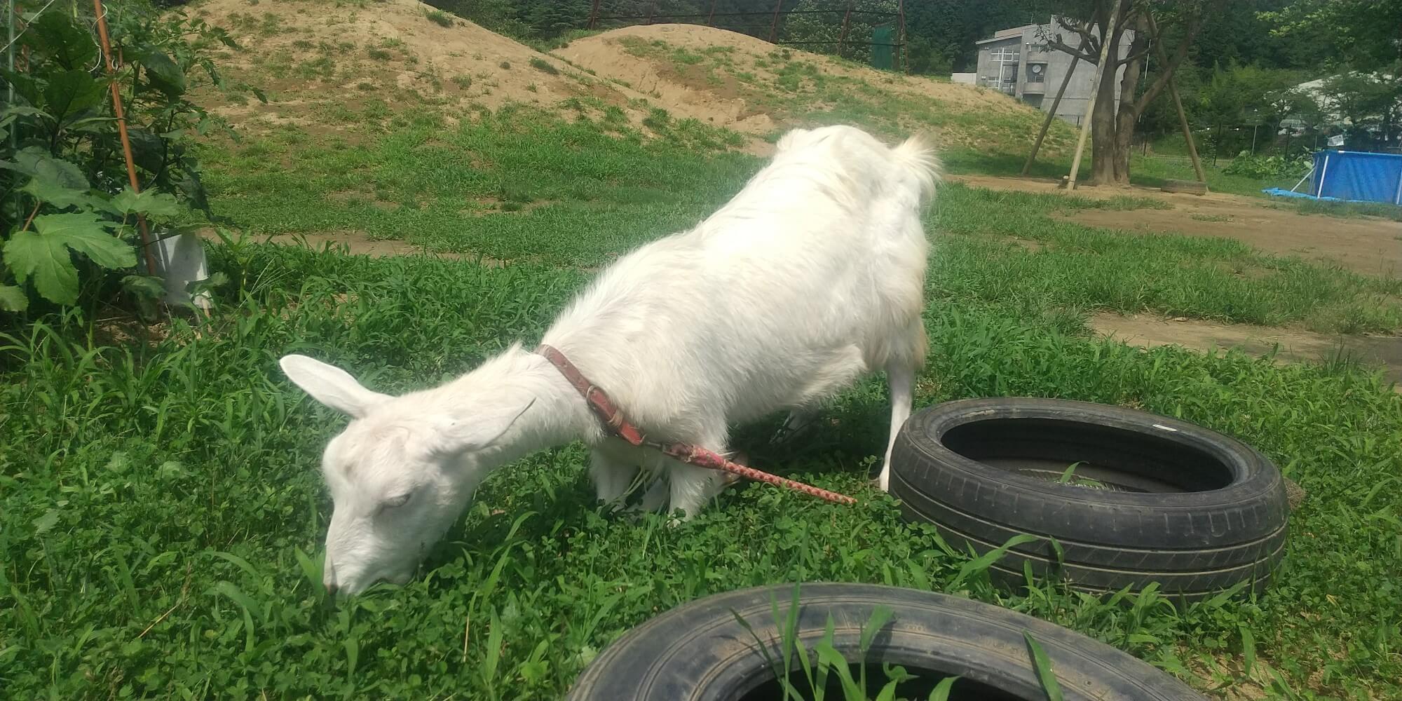 草を食べる子ヤギ