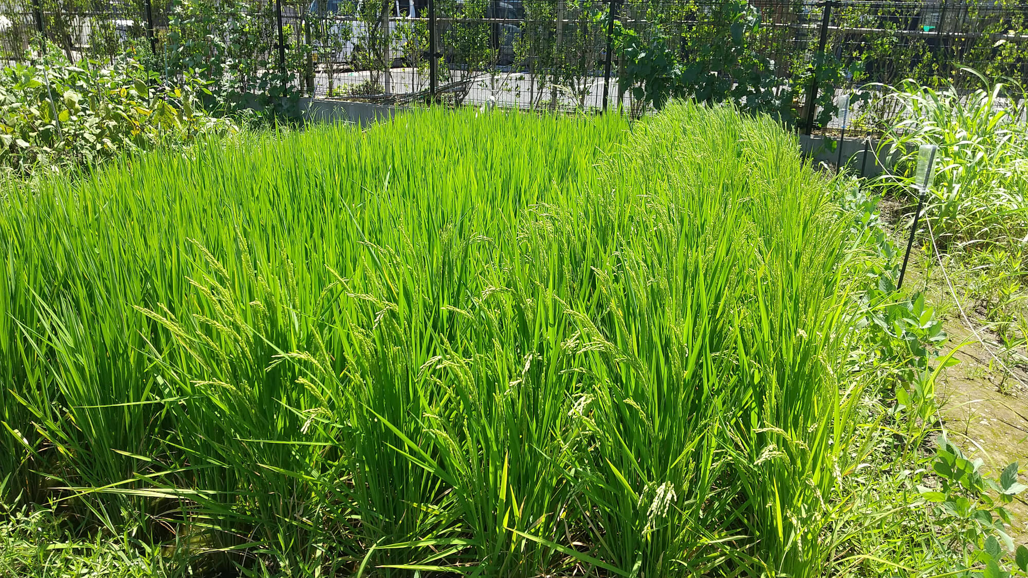 稲が育った田んぼ