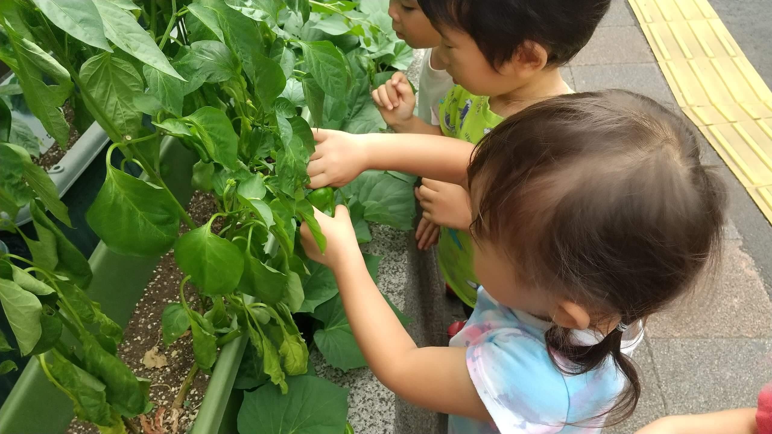 食べきれないほどの夏野菜が実ります。この日はピーマンの収穫です。