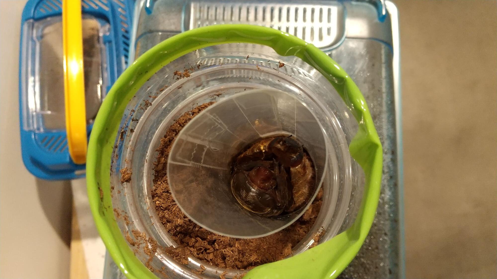 蛹室の中で脱皮を繰り返すカブトムシのさなぎ